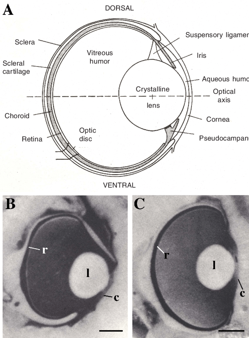 hight resolution of 3 the eyes of sharks and rays a schematic diagram of the eye of the juvenile lemon shark negaprion brevirostris in transverse section showing the ocular
