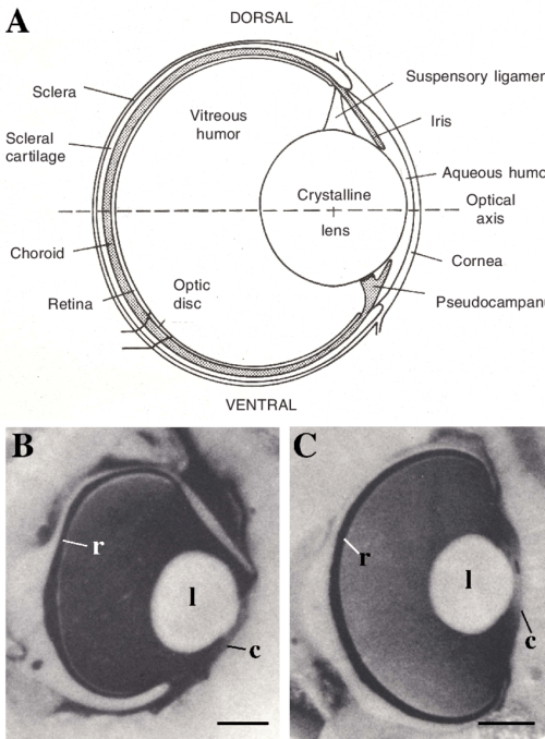 small resolution of 3 the eyes of sharks and rays a schematic diagram of the eye of the juvenile lemon shark negaprion brevirostris in transverse section showing the ocular