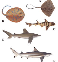 10 body colour and patterning in elasmobranchs which could be used in visual recognition [ 850 x 995 Pixel ]