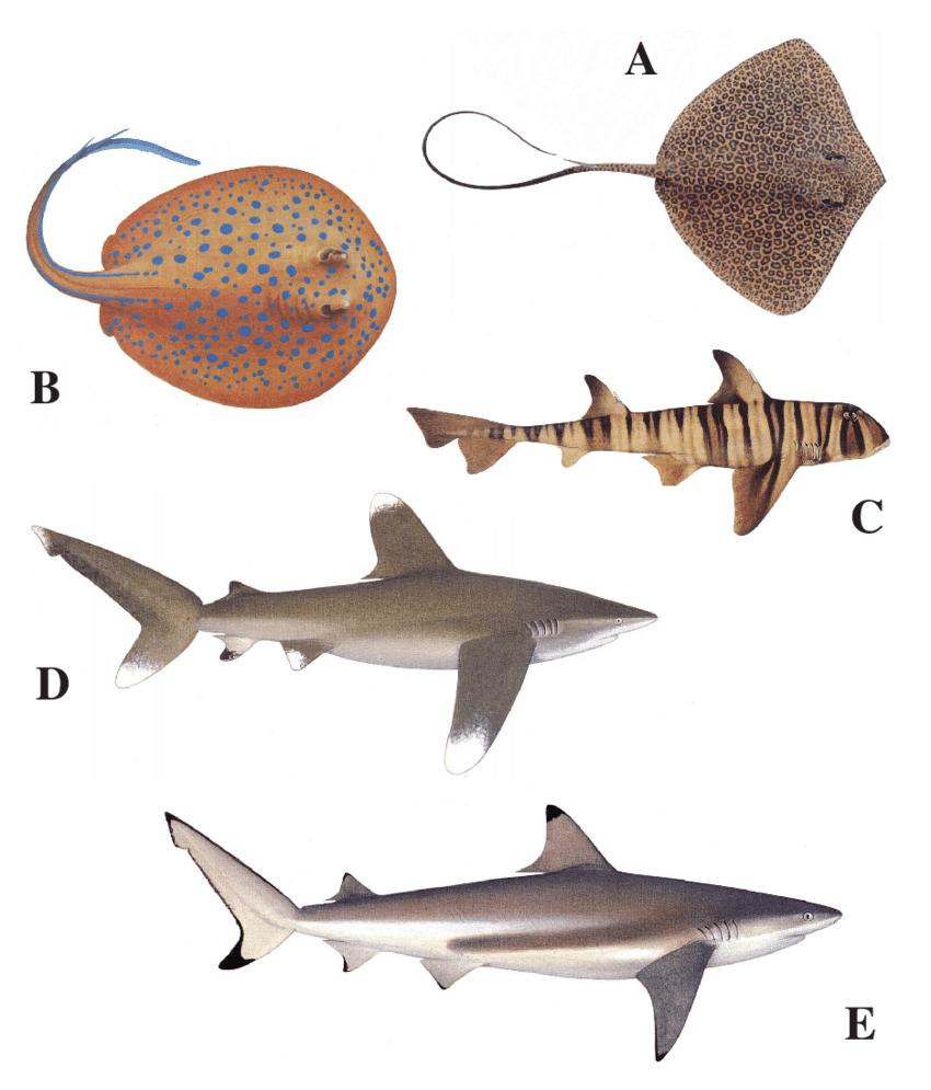 hight resolution of 10 body colour and patterning in elasmobranchs which could be used in visual recognition