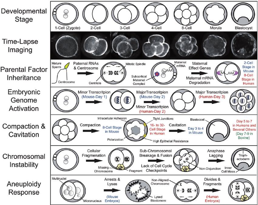 Fundamental aspects of mammalian pre-implantation