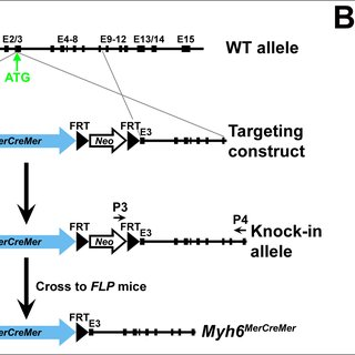 (PDF) A Murine Myh6MerCreMer Knock-In Allele Specifically
