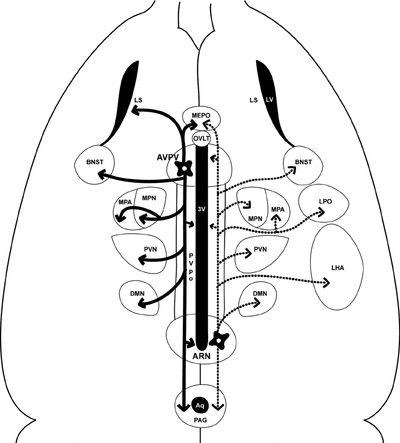 Schematic, flat-map horizontal view of the female mouse