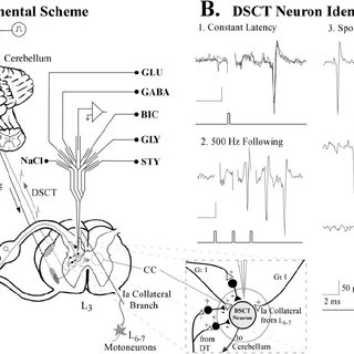 Hypothetical synaptic scenarios accounting for inhibition