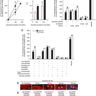 Sema3A induces permeability of endothelial cells in vitro