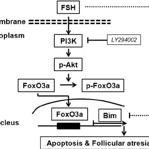 Diagram of Bim expression regulated by FSH in granulosa