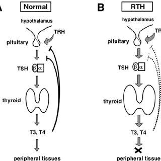 thyroid: Thyroid Regulation Negative Feedback
