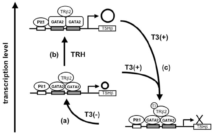 Schematic representation of transcriptional regulation of
