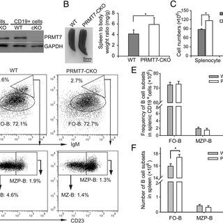 (PDF) Histone Arginine Methylation by PRMT7 Controls