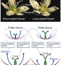dimorphic flowers of buckwheat and schematic presentation of the intra morph incompatibility response in buckwheat [ 850 x 1087 Pixel ]