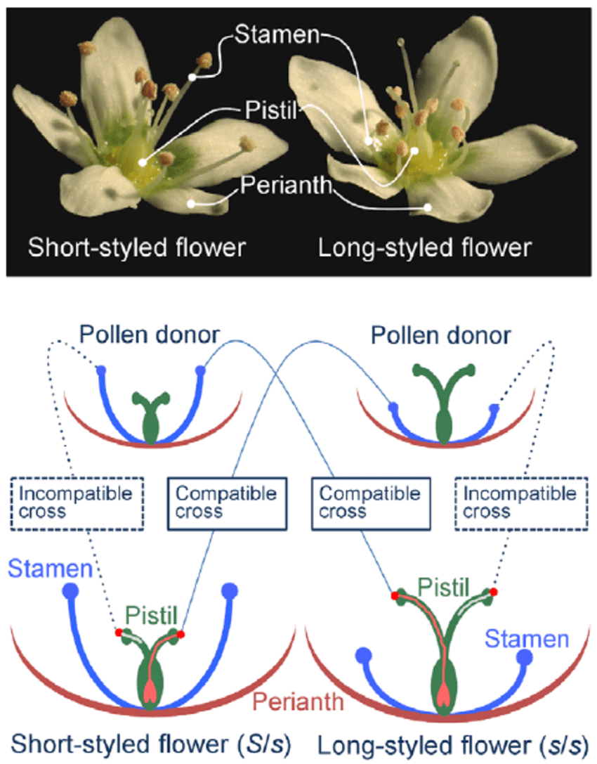 hight resolution of dimorphic flowers of buckwheat and schematic presentation of the intra morph incompatibility response in buckwheat