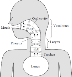 schematic of the airway model a frontal section is shown for the larynx while [ 850 x 944 Pixel ]