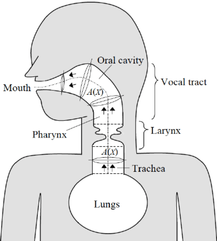 medium resolution of schematic of the airway model a frontal section is shown for the larynx while