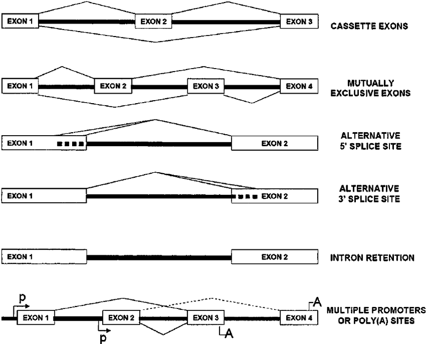 Major types of alternative splicing (AS). The cassette