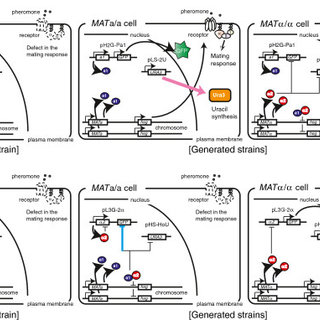 Schematic outline of yeast mating-type regulation and our
