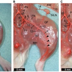 Mouse Skeletal Diagram Car Battery Wiring (a) After Removal Of The Skin. A Large Part Femoral Artery Is...   Download Scientific ...