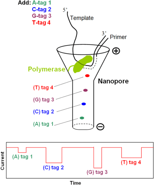 small resolution of schematic of single molecule dna sequencing by a nanopore with phosphate tagged nucleotides in