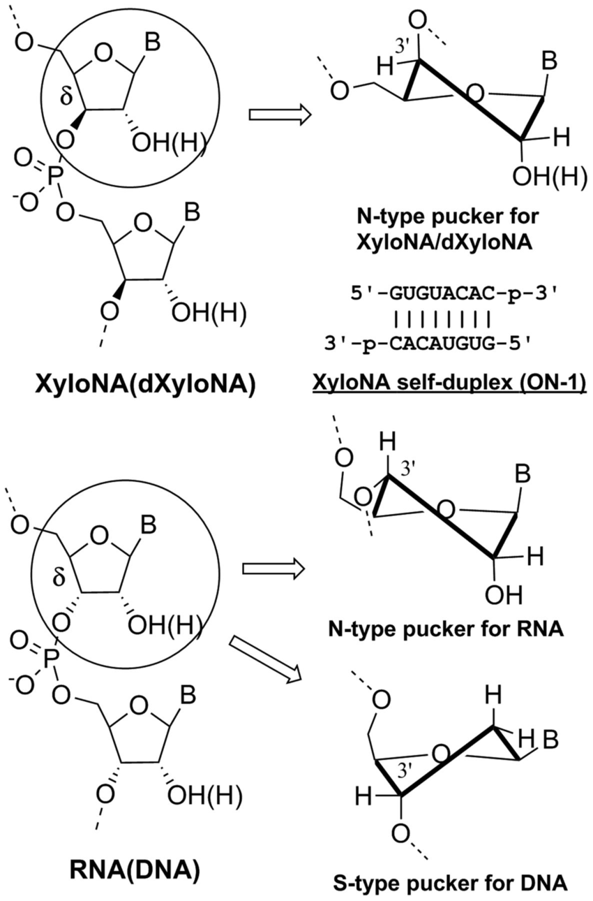 hight resolution of chemical structure of the sugar phosphate backbone in xylona dxylona download scientific diagram