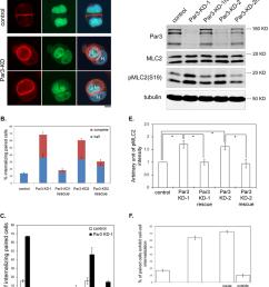 depletion of par3 leads to enhanced mlc2 phosphorylation and entosis download scientific diagram [ 850 x 996 Pixel ]