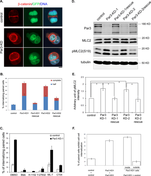 small resolution of depletion of par3 leads to enhanced mlc2 phosphorylation and entosis download scientific diagram