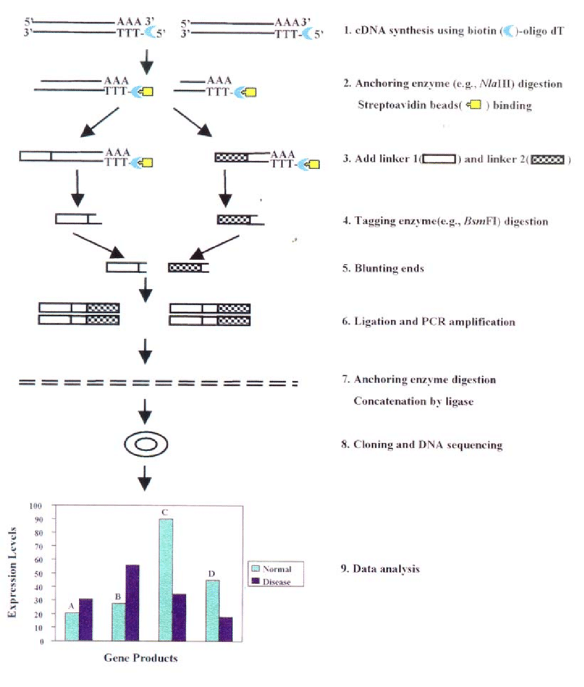 hight resolution of the schematic of the serial analysis of gene expression sage method step 1