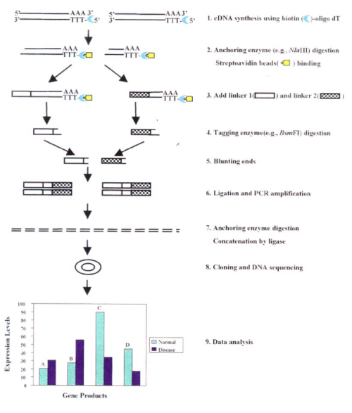 small resolution of the schematic of the serial analysis of gene expression sage method step 1