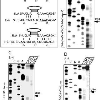 (PDF) The spliced leader-associated RNA is a trypanosome