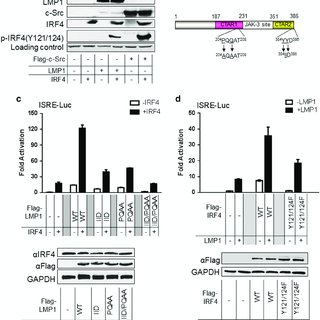 (PDF) LMP1 signaling pathway activates IRF4 in latent EBV