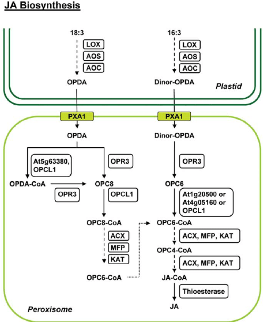 hight resolution of onion epidermal diagram labeled with oil