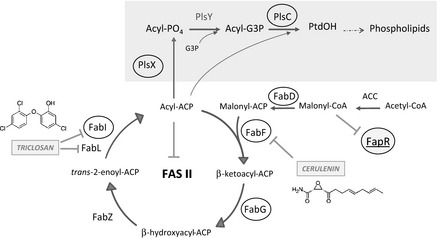 Pathway of lipid synthesis in Bacillus subtilis