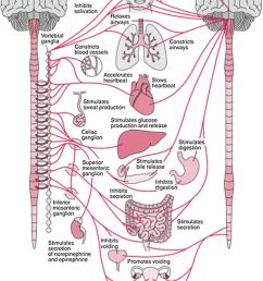 anatomy of the autonomic nervous system and its sympathetic autonomic nerve system autonomic nerve diagram [ 850 x 1178 Pixel ]