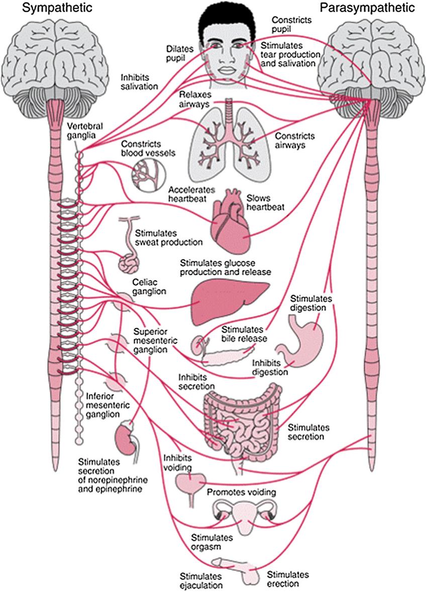 medium resolution of anatomy of the autonomic nervous system and its sympathetic autonomic nerve system autonomic nerve diagram