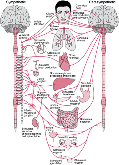 small resolution of anatomy of the autonomic nervous system and its sympathetic autonomic nerve system autonomic nerve diagram