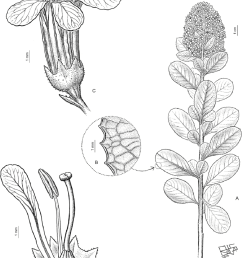 a flowering branch flowers in dense terminal multiflowered panicles b [ 850 x 1206 Pixel ]