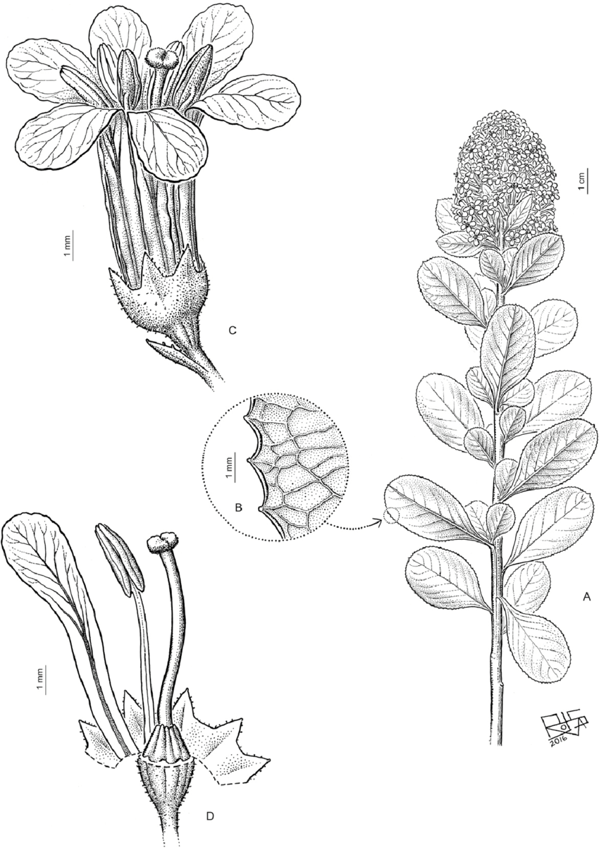 medium resolution of a flowering branch flowers in dense terminal multiflowered panicles b