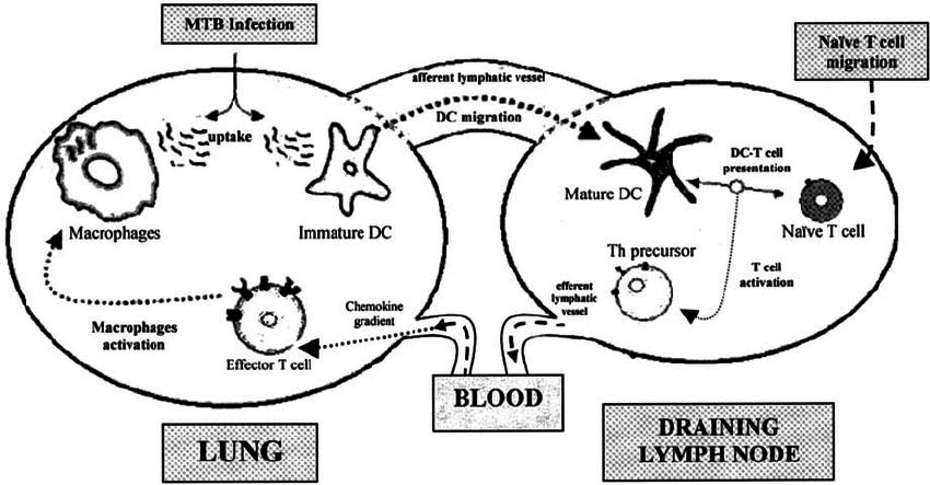 Cartoon representing the mathematical model of Mtb-immune