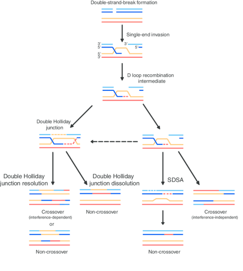 small resolution of model for meiotic crossover or non crossover formation double strand breaks are generated and