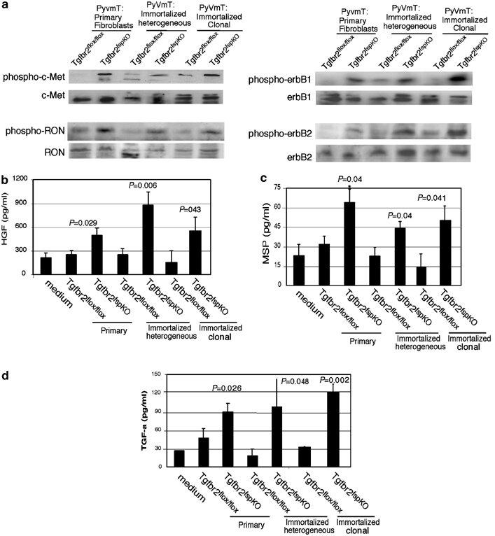 Tgfbr2fspKO fibroblasts increased receptor tyrosine kinase