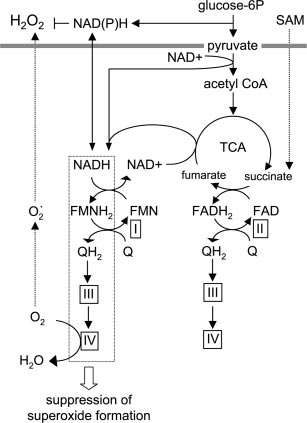 Schematic representation of the ROS-suppressive action of
