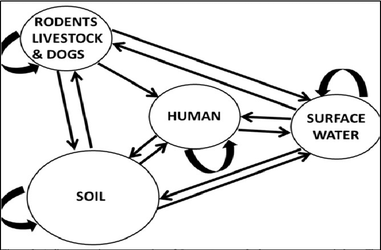 A diagrammatic illustration of Leptospira transfer between