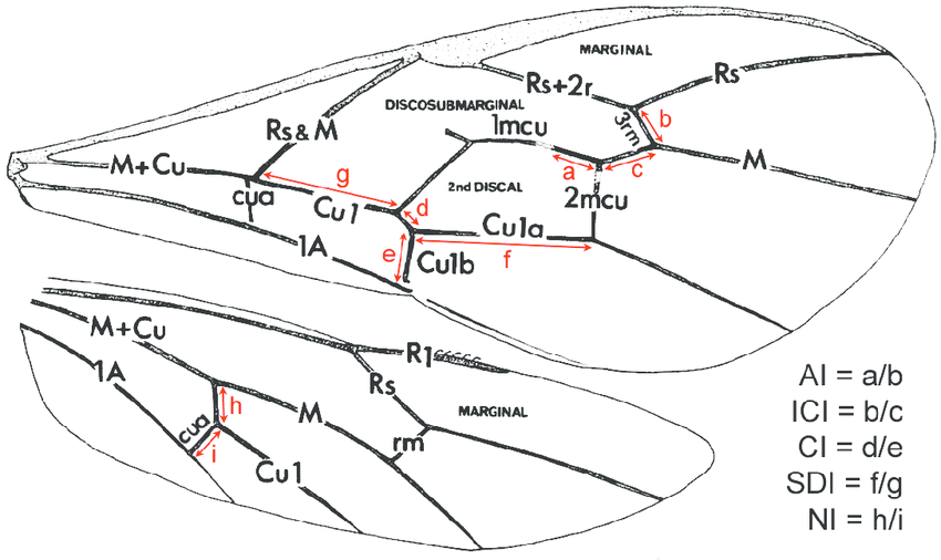 Wing venation terminology and alar indices (after Gauld