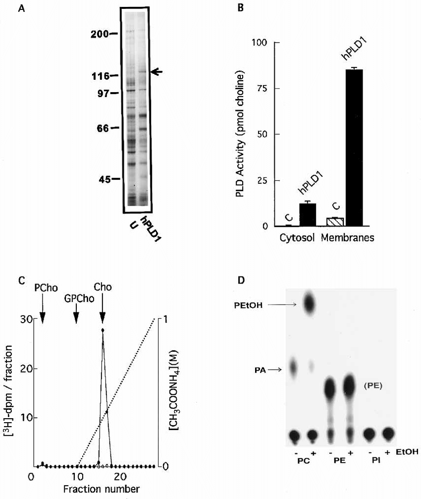 Baculovirus-mediated expression of hPLD1 in sf9 cells. A