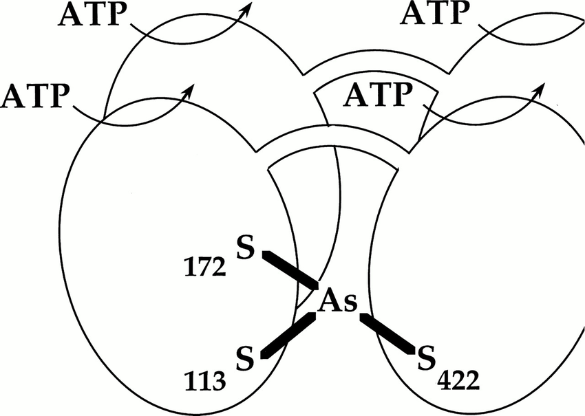Model for structure of ArsA ATPase, shown as a homodimer