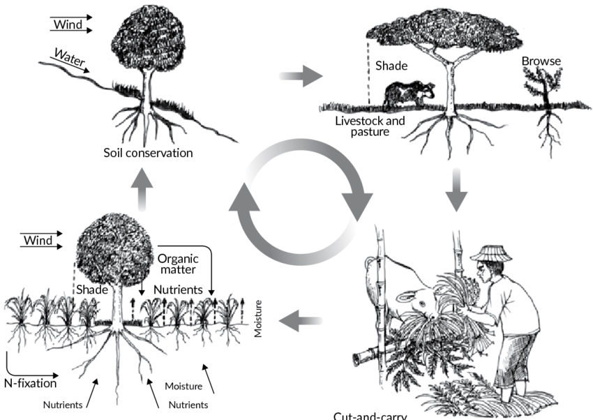 Nutrient cycling in agroforestry systems Source: modified