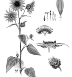 14 sunflower anatomy  [ 850 x 1077 Pixel ]