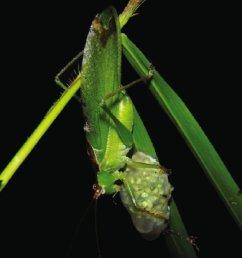 predation of an chiromantis hansenae egg clutch by a katydid hexacentrus cf unicolor  [ 768 x 1024 Pixel ]