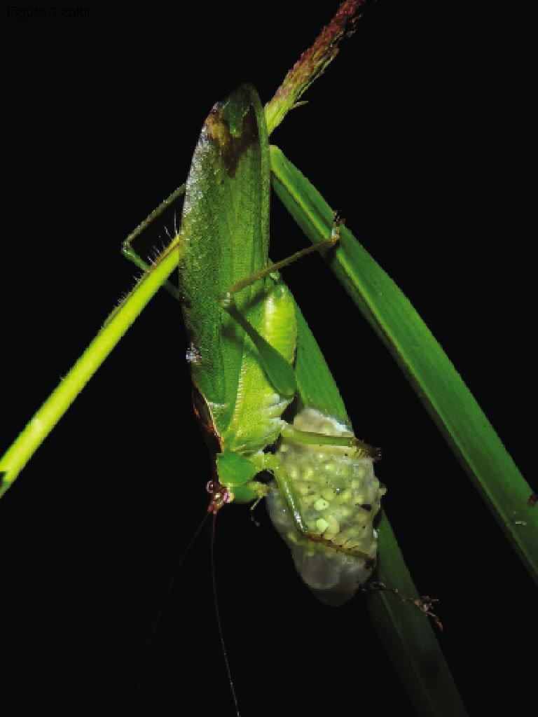 hight resolution of predation of an chiromantis hansenae egg clutch by a katydid hexacentrus cf unicolor