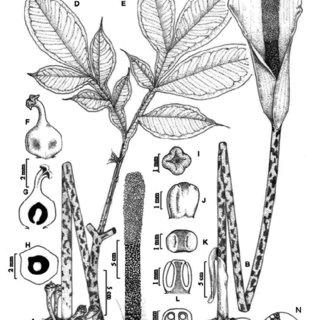 Amorphophallus longistylus Kurz. A. Tuber with leaf; B