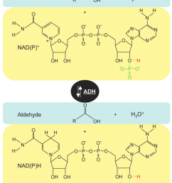 reaction mechanism of alcohol dehydrogenases these enzymes catalyse the nad p dependent [ 827 x 1029 Pixel ]