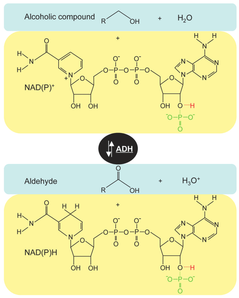 hight resolution of reaction mechanism of alcohol dehydrogenases these enzymes catalyse the nad p dependent